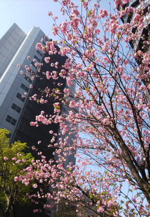 北浜 きれいな桜